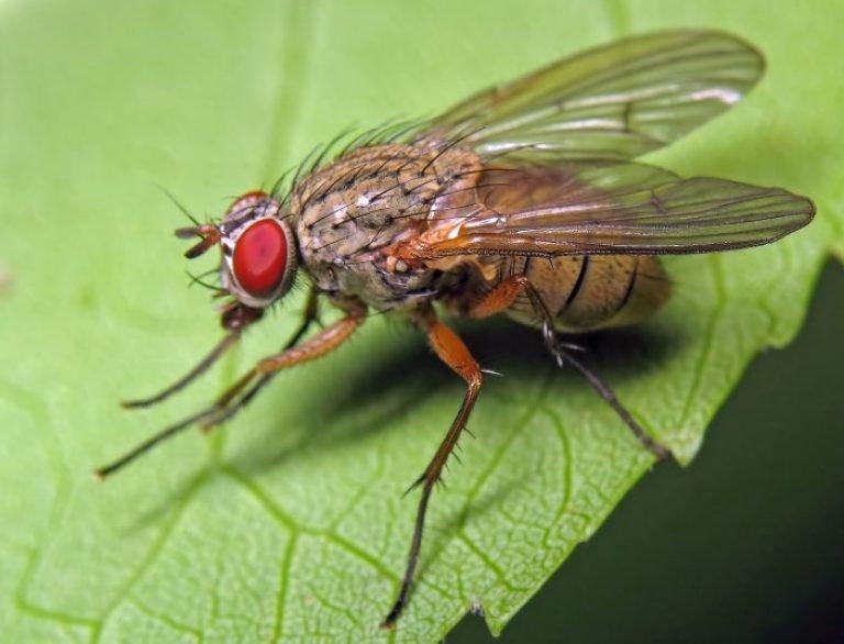 Как избавиться от капустной мухи народными средствами