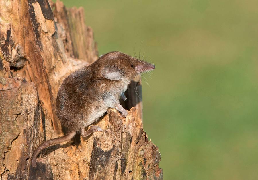Землеройки (бурозубки и белозубки): описание и особенности животных