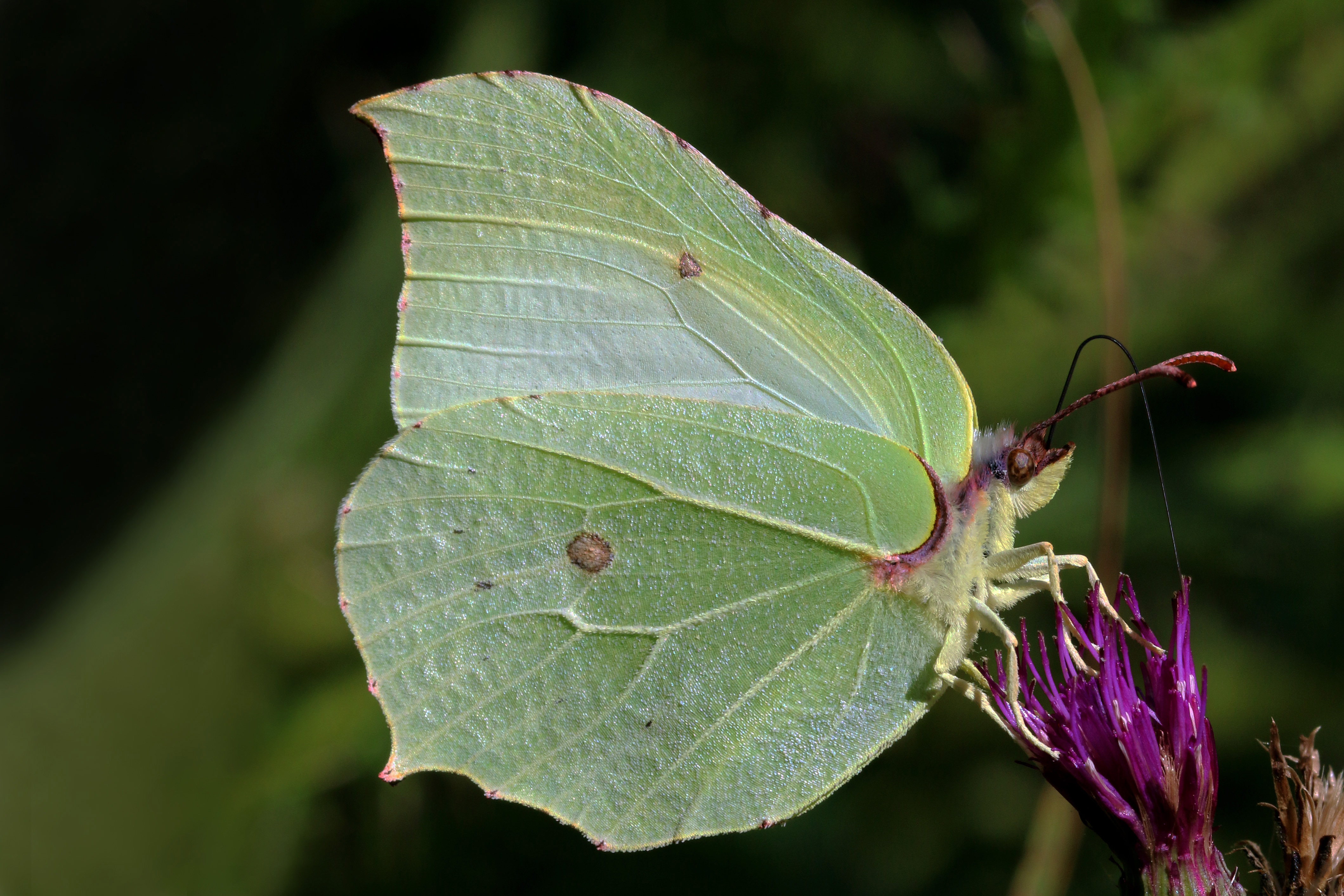 Бабочка монарх – самая необычная путешественница в природе