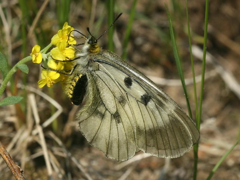 Бабочка аполлон: образ жизни и среда обитания