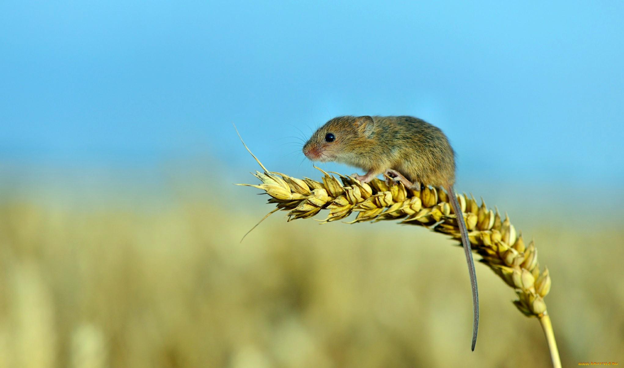 Чем питается полевка: на лугу, в лесу, степи или тайге, растительноядная или всеядная она русский фермер