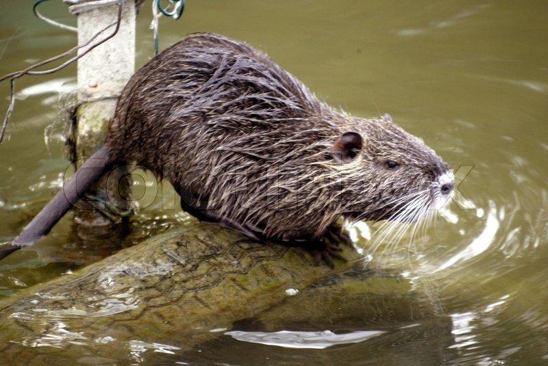 Водяная полевка (земляная крыса) на огороде, даче или садовом участке: как избавиться, народные и химические способы борьбы с ними