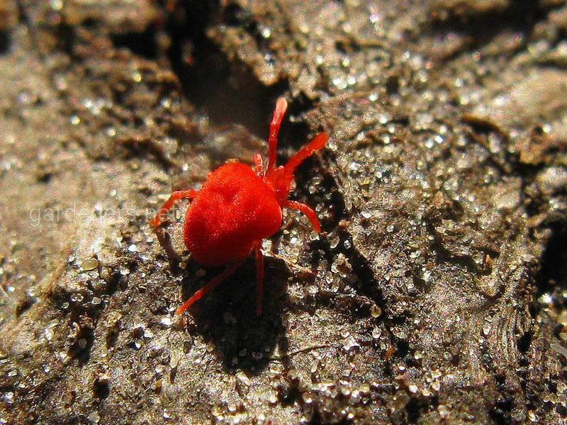 Красный плодовый клещ: как бороться с вредителем, профилактика   огородники