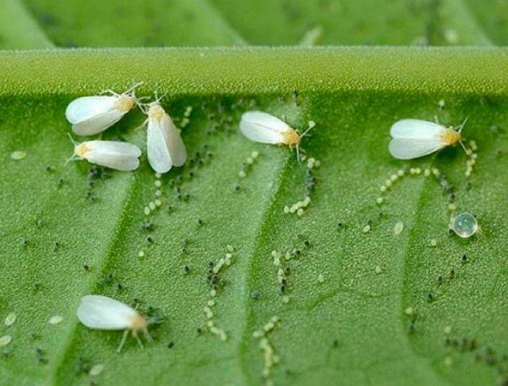 Как избавиться от белокрылки в теплице? методы борьбы с вредителем