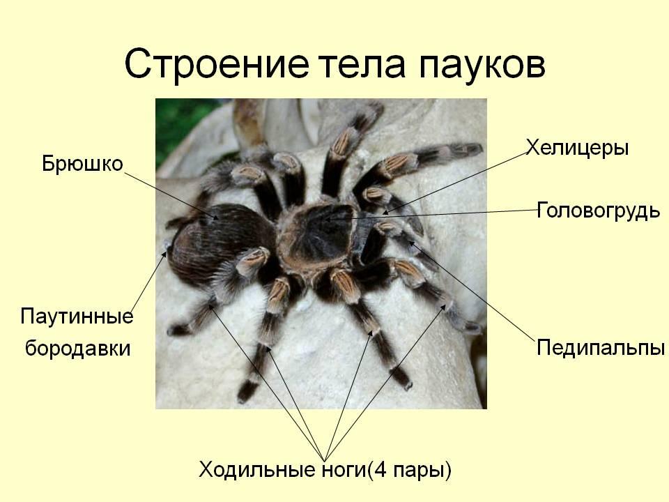 Строение тараканов: внутреннее и внешнее