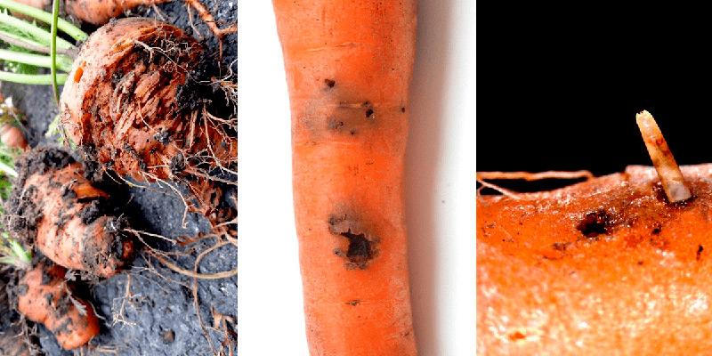 Какие есть болезни и вредители моркови и как с ними бороться