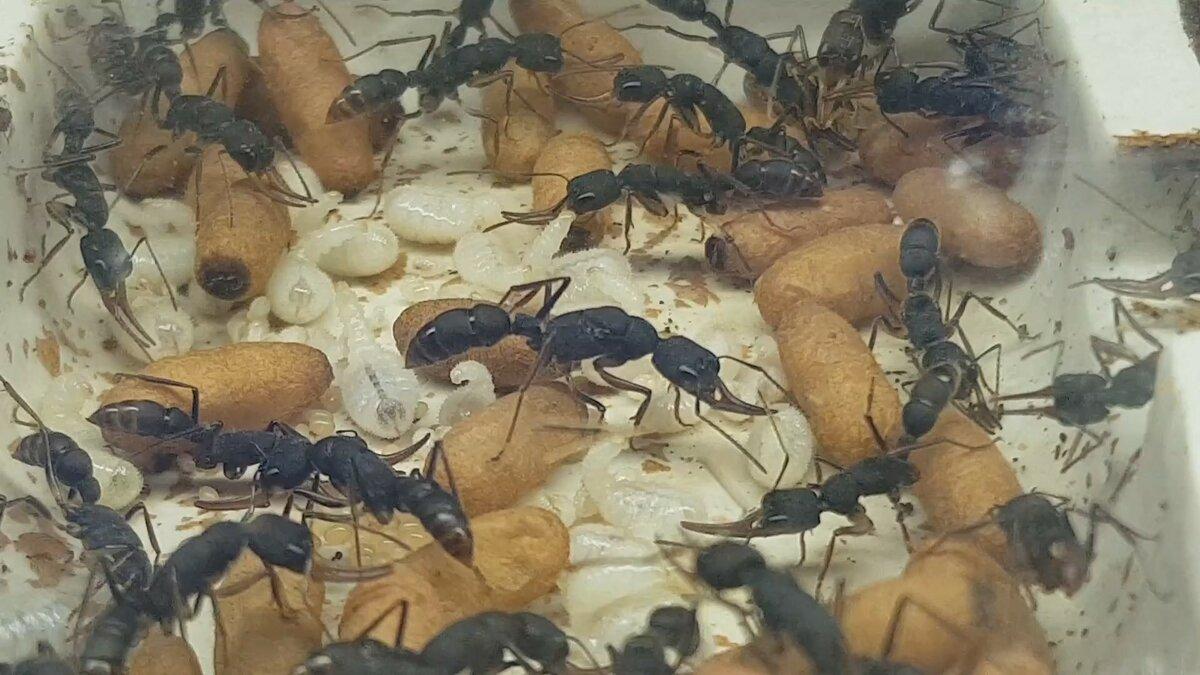 Самые опасные муравьи в мире: какие насекомые являются насекомыми убийцами