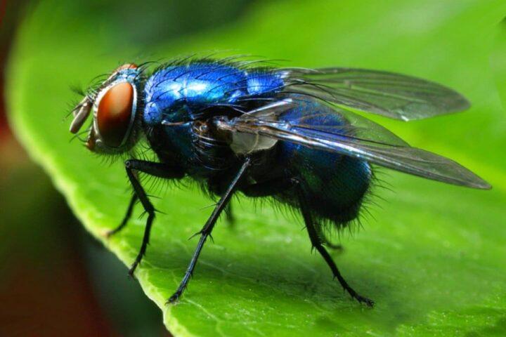 Вольфартова муха: фото и описание