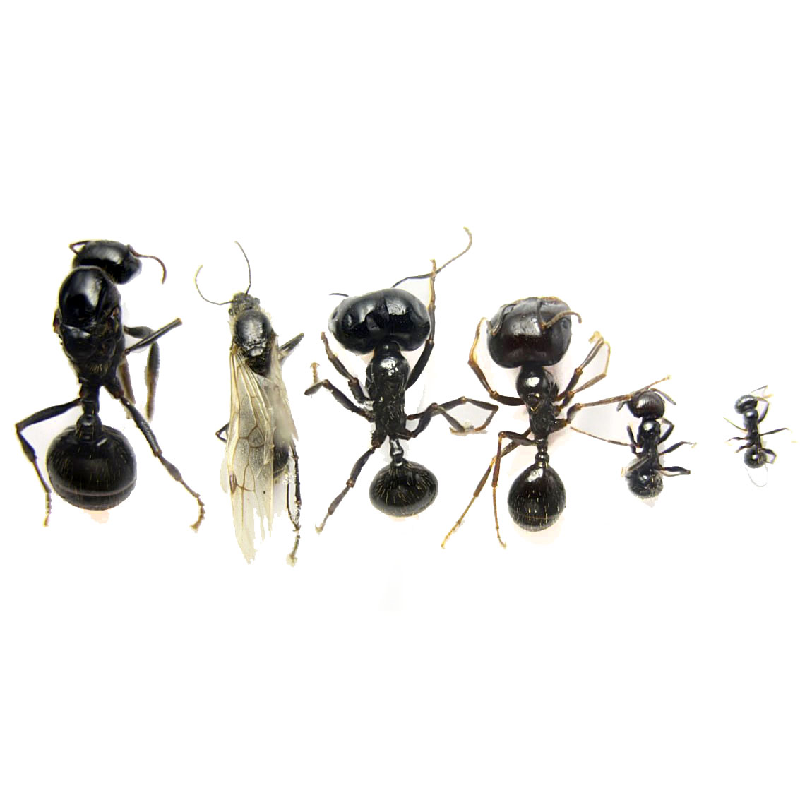 Матка у домашних муравьев как выглядит и как избавиться от нее