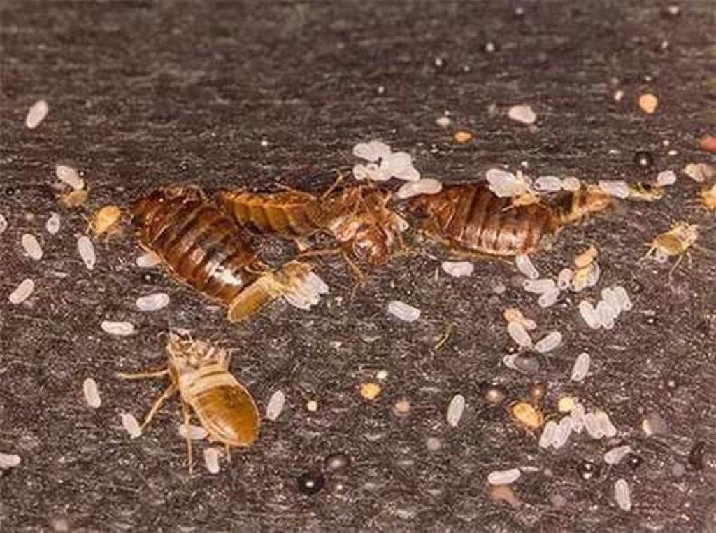 Яйца и личинки клопов: как выглядят (фото) и как их уничтожить / как избавится от насекомых в квартире