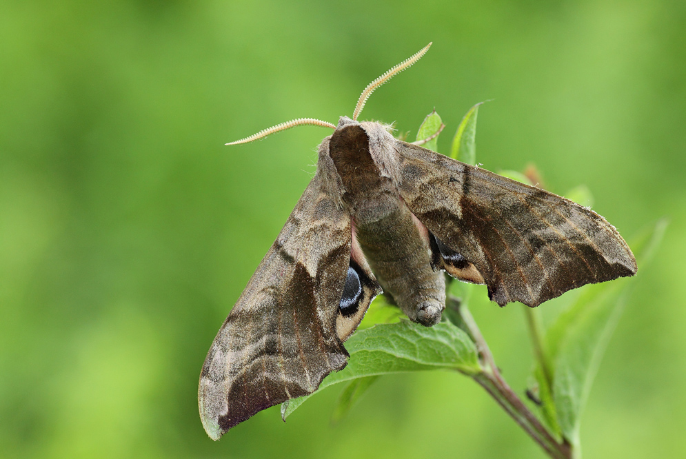 Бражник: подробное описание насекомого и его разновидности