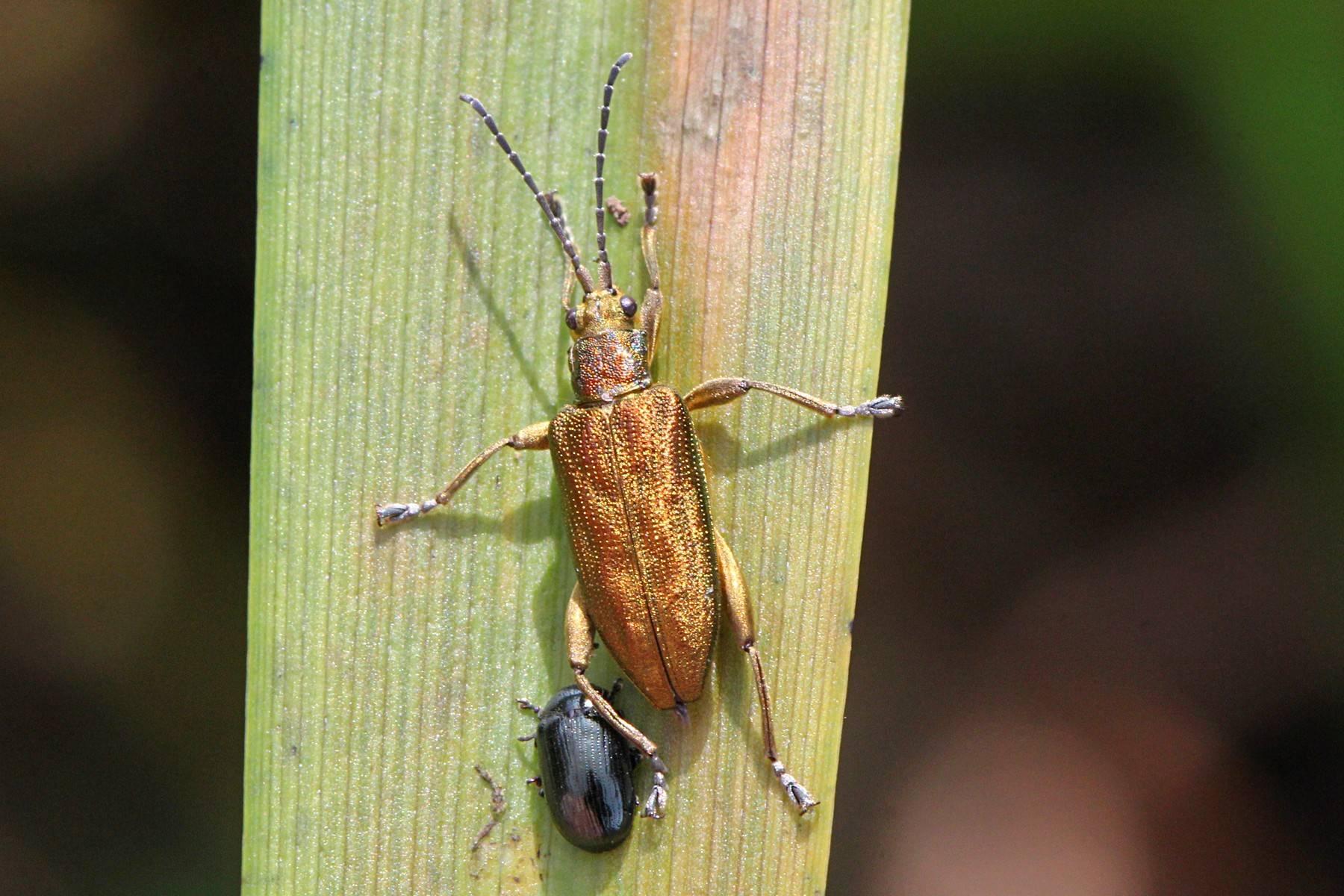 Особенности больших черных жуков водолюбов: способ дыхания и жизненный цикл