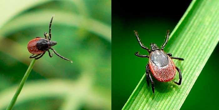На какой траве сидят клещи. клещ – описание, виды, где обитают, чем питаются, фото