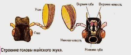 Насекомые: особенности строения тела, типы усиков, ротовых аппаратов, ног, крыльев с фото и схемой