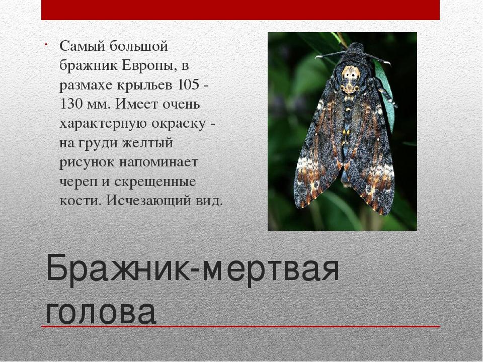Бабочка мертвая голова из семейства бражников, фото с черепом на спине