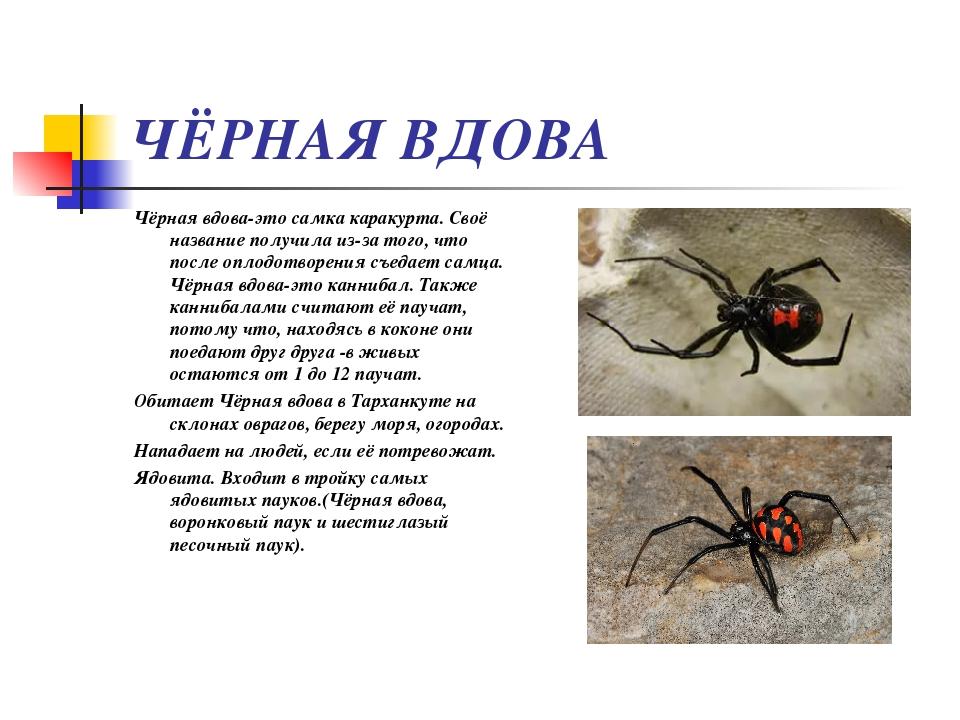Как выглядит, где живёт и как кусает паук каракурт?