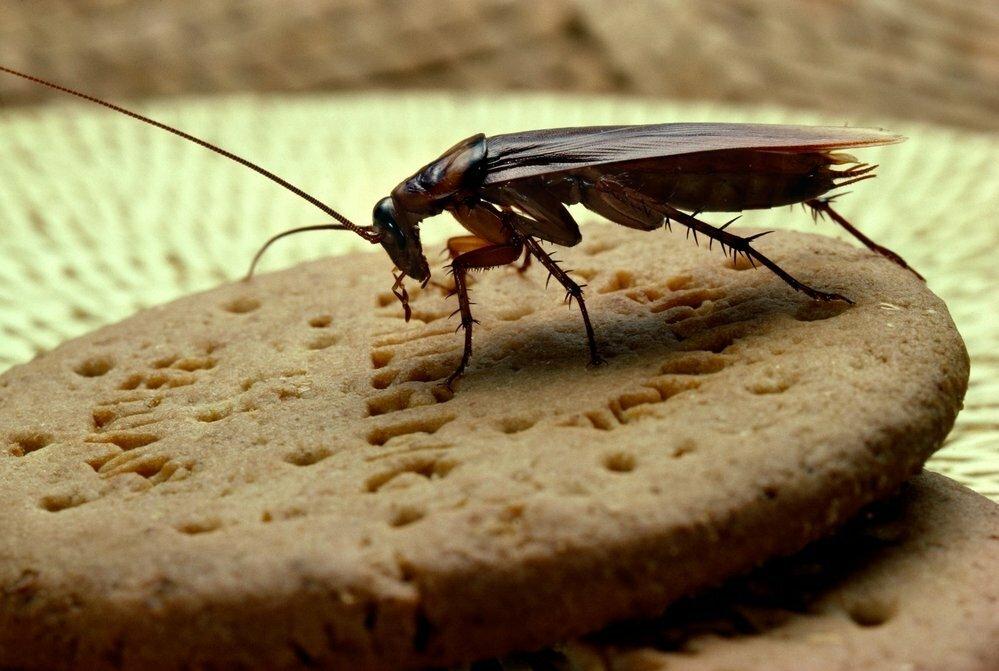 Где живут и чем питаются тараканы в квартире?