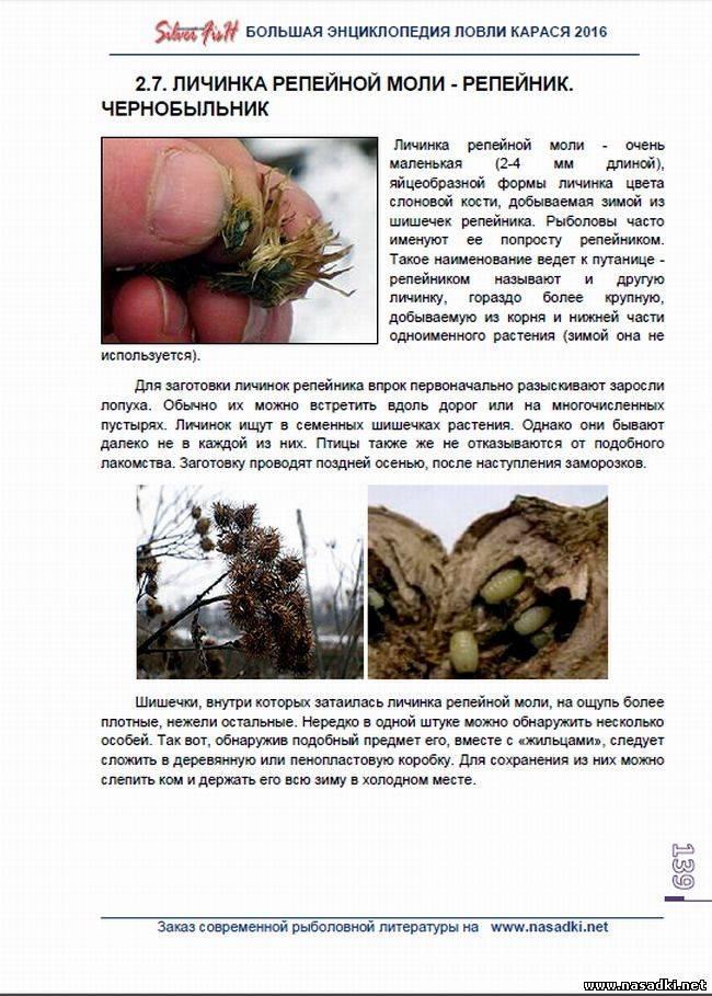 Репейная моль: личинка, где найти и как хранить её