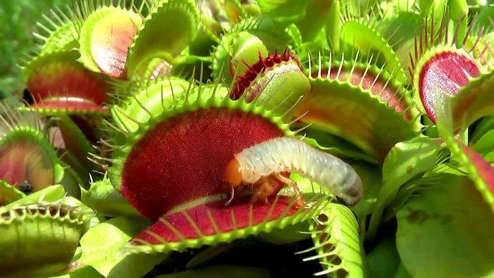 Как называется растение которое ест мух и других насекомых?