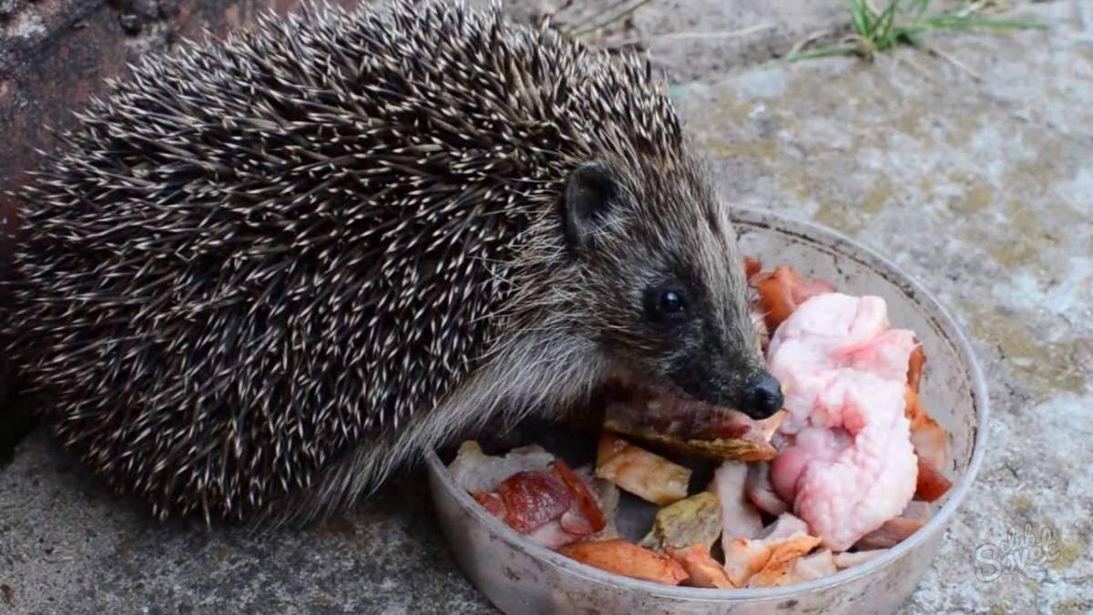 Чем кормить ежа на даче, что ест дикий еж в природе