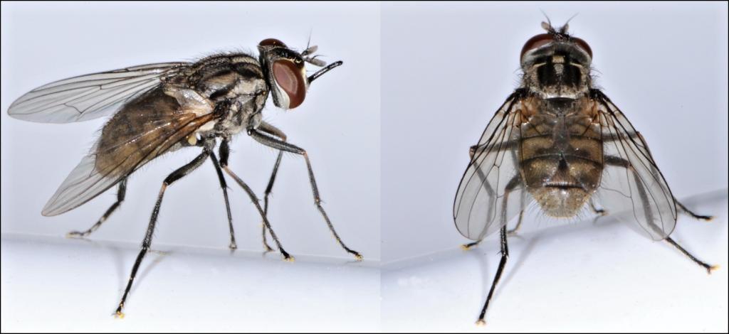 С какой скоростью летает муха , сколько км. в час?