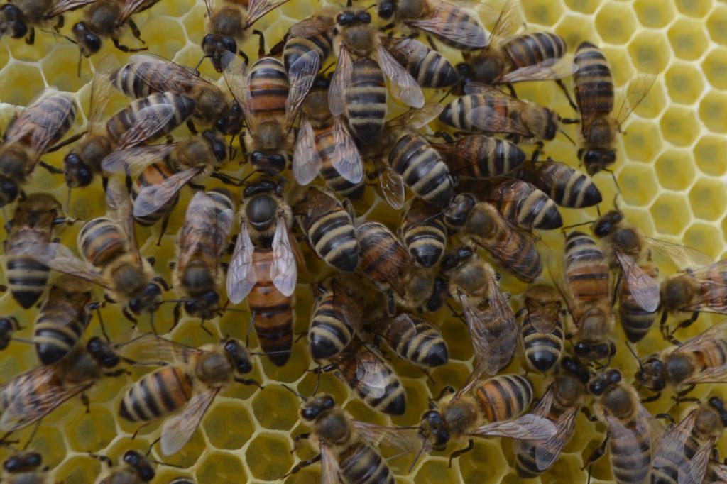 Породы пчел - названия, описания, характеристики
