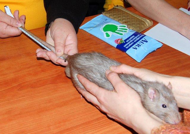 Язык тела крыс: почему грызуны прыгают, скрипят, грызут клетку, стучат зубами