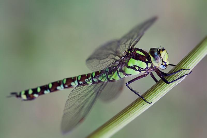 Научная библиотека - рефераты -  стрекозы: их видовой состав, образ жизни