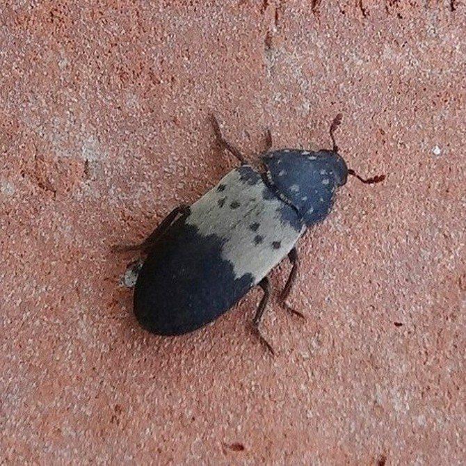 Откуда берутся кожееды в квартире: лучшие способы избавиться от насекомого