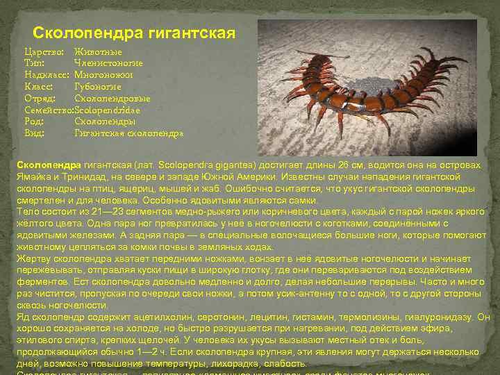 Многоножки класс фото насекомое описание