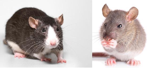 Musophobia: симптомы и способы борьбы с боязнью мышей и крыс у человека