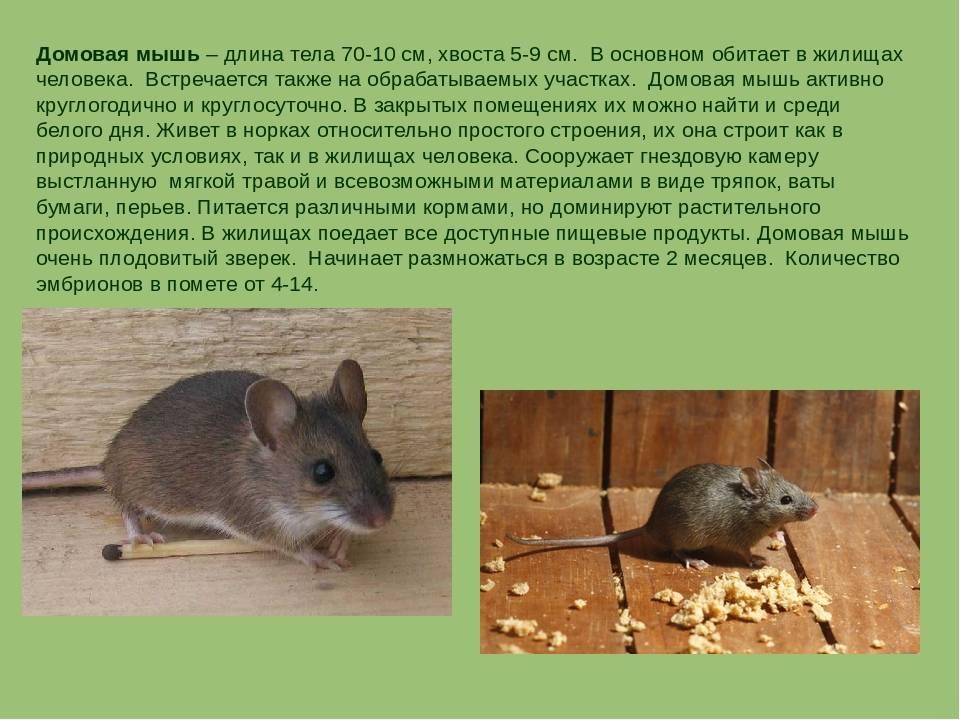 Домовая мышь — описание, среда обитания, образ жизни   zdavnews.ru