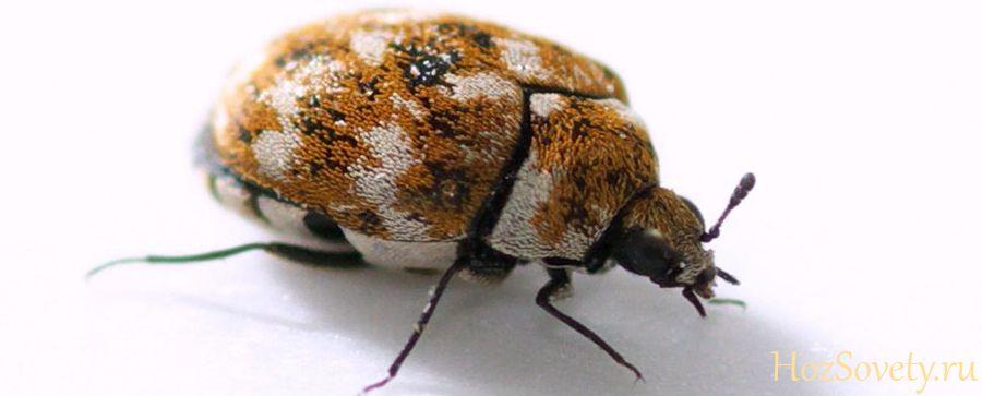 Кожееды в квартире: как избавиться от жуков, 18 лучших средств и методов