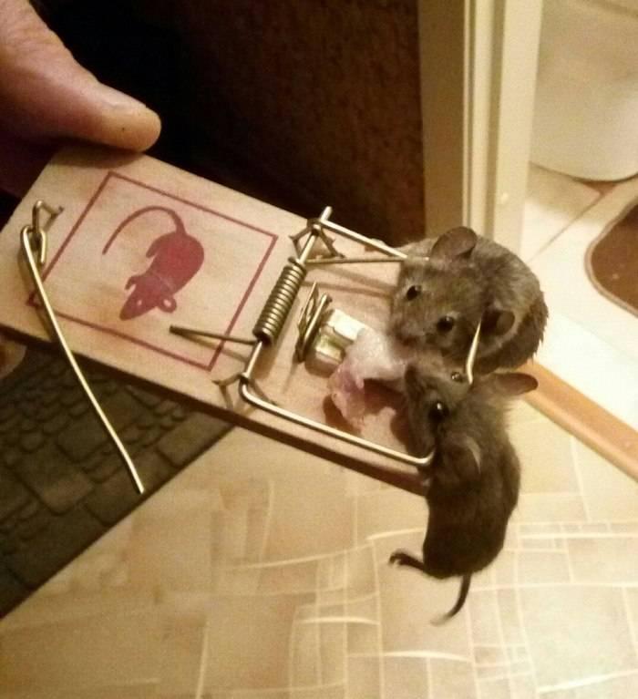 Какая приманка для мышей и крыс лучше?