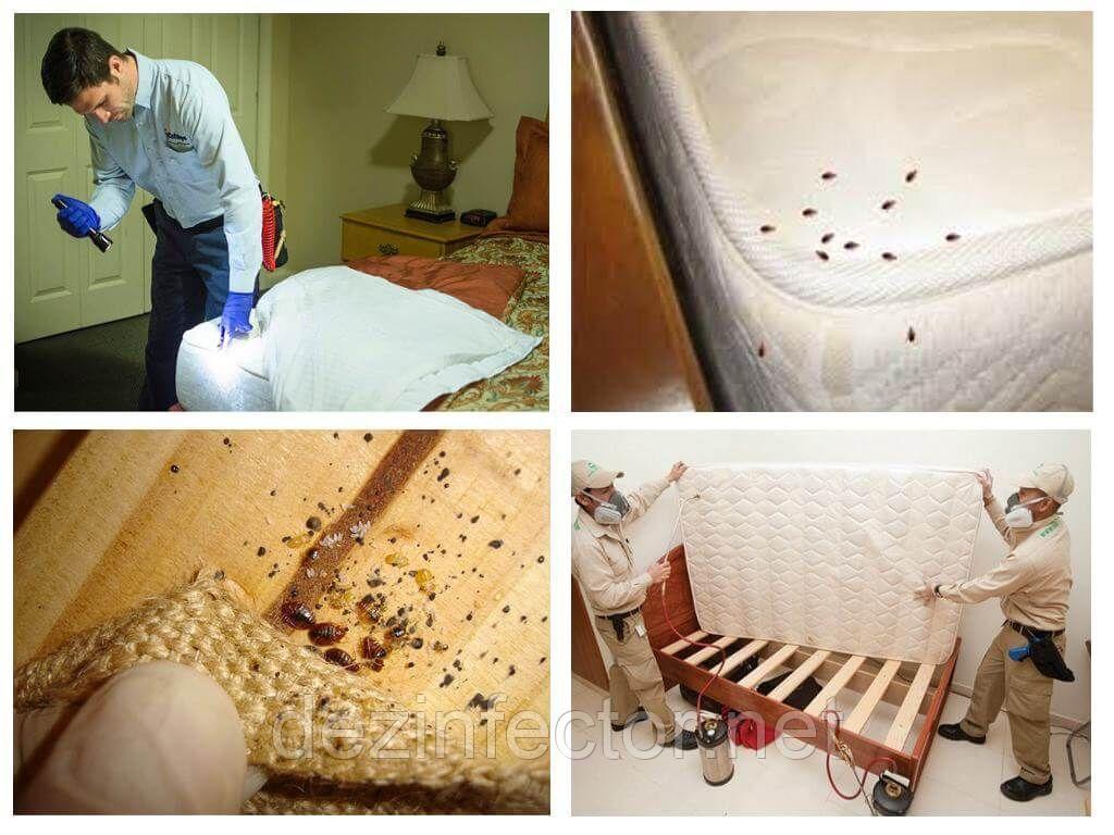Мебельные клопы, как выглядят и какую опасность представляют для человека