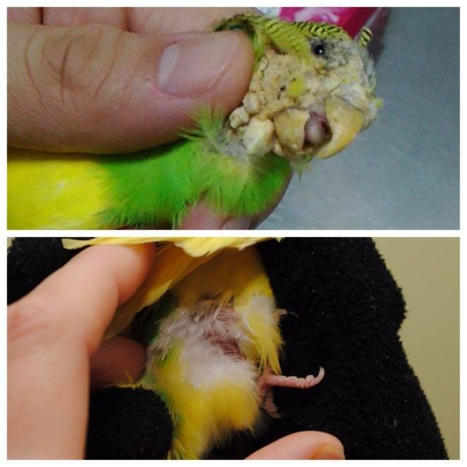 Клещ у попугая: причины появления, симптомы и что делать | все о паразитах