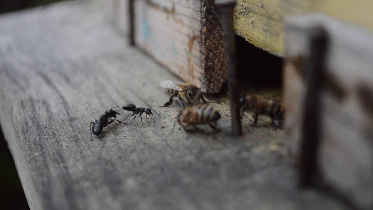Борьба с муравьями на пасеке, народные и химические средства, профилактика
