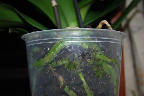 В грунте орхидей завелись белые жучки или другие насекомые: что делать, если в земле появились мелкие мошки, как избавиться от букашек в почве и откуда они берутся? selo.guru — интернет портал о сельском хозяйстве