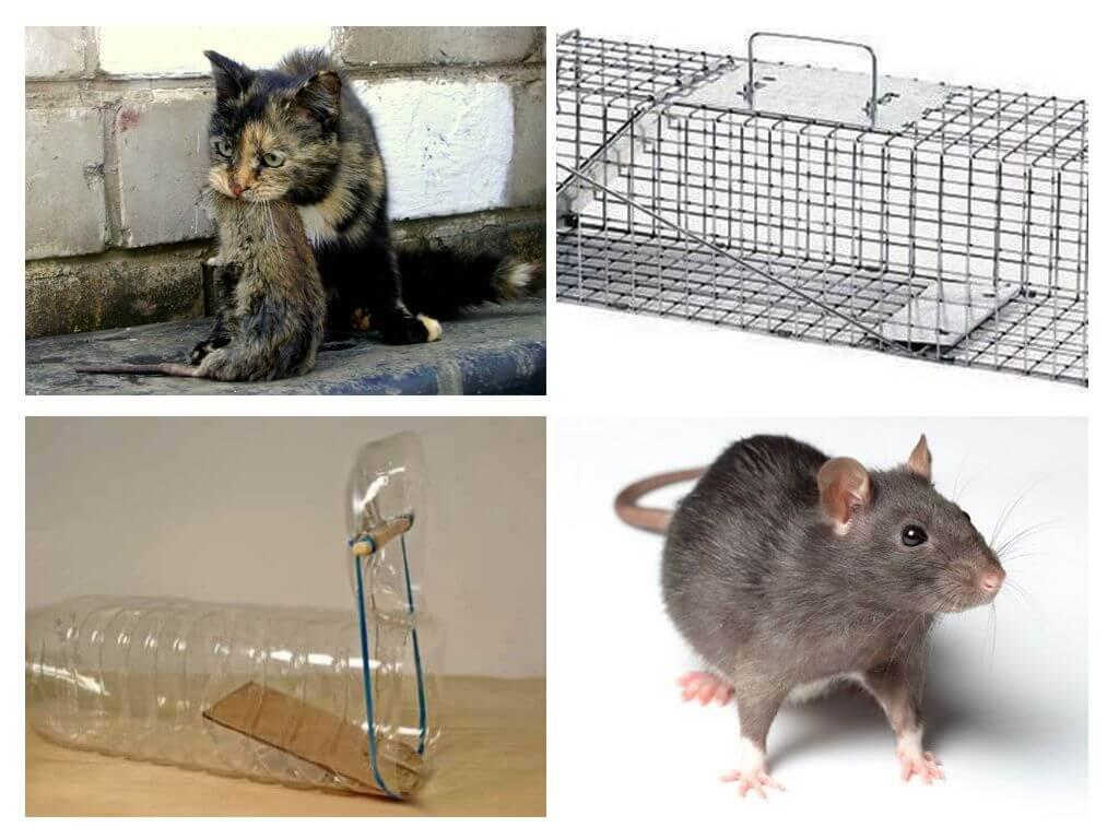 Что делать если в квартире завелась крыса? куда обращаться и какие предпринимать меры.