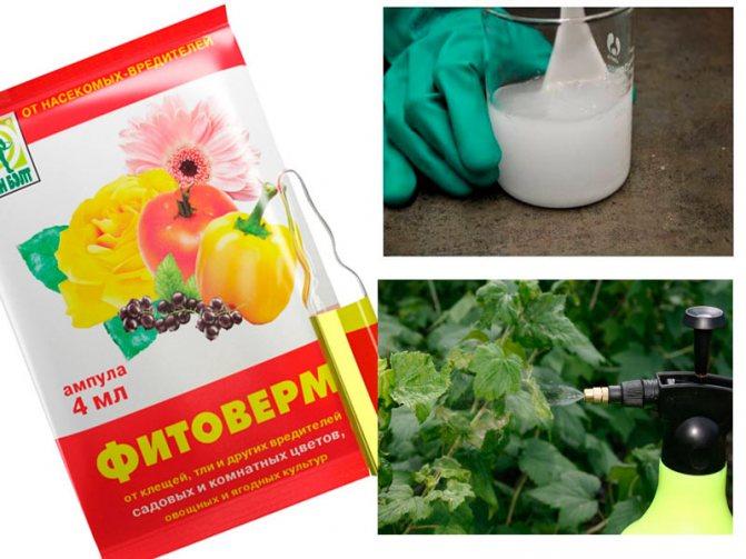 Тля на розах: народные средства и эффективные препараты для борьбы с вредителем