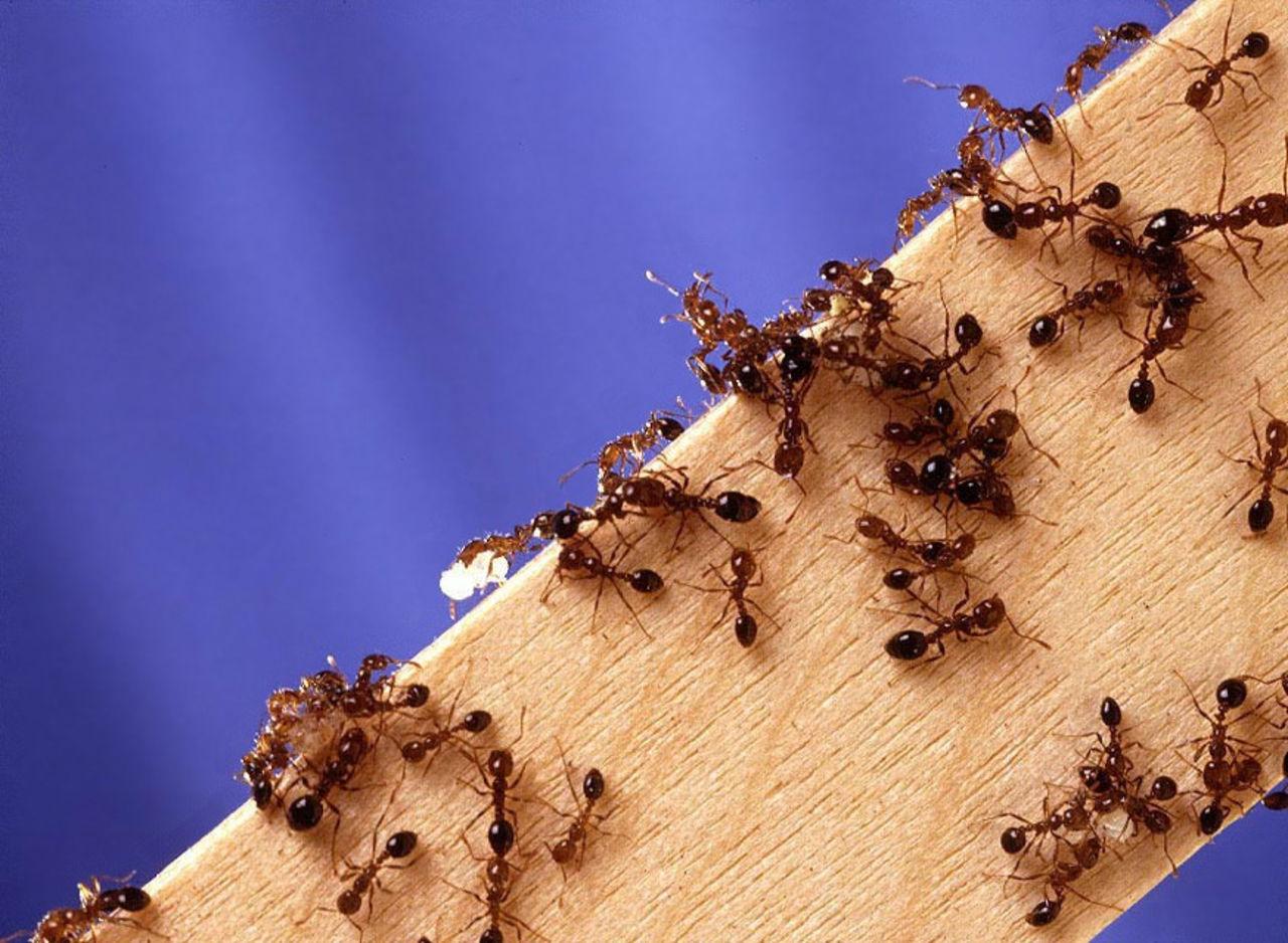Как уничтожить муравейник. борьба с муравьями. в статье описаны некоторые рекомендации по истреблению муравьев и уничтожению муравейников