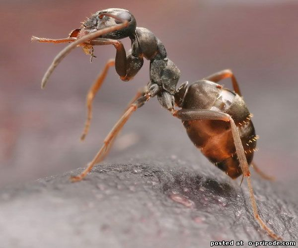 Крылатые муравьи