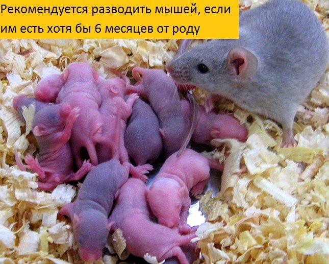 Размножение мышей в дикой природе, домашних условиях