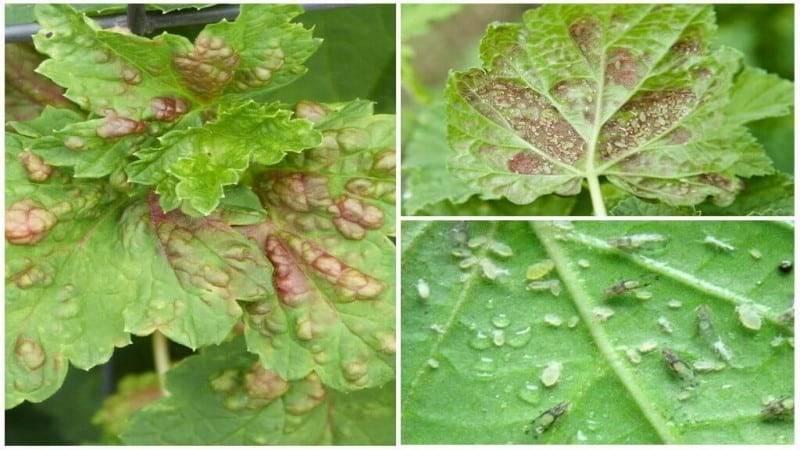 Почковый клещ на смородине: меры борьбы весной и осенью