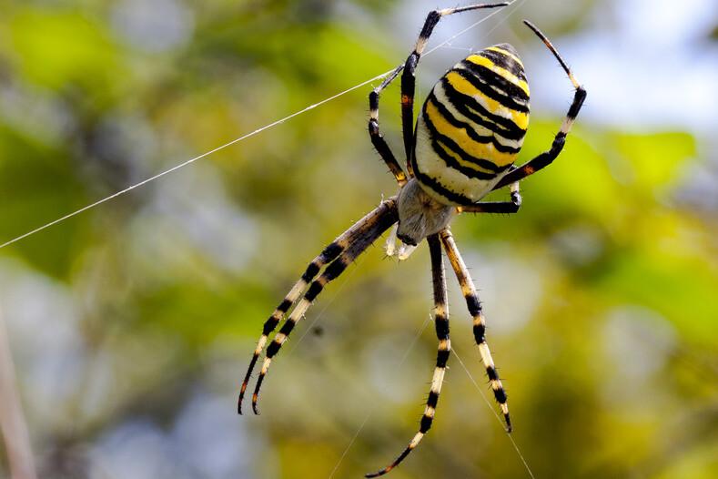 Паук аргиопа или тигровый черный с желтыми полосками, где обитает?