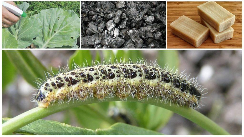 Как защитить капусту от гусениц: виды вредителей, причины появления, как их обнаружить, профилактика, обзор методов борьбы - механические, биологические, химические, народные, их плюсы и минусы