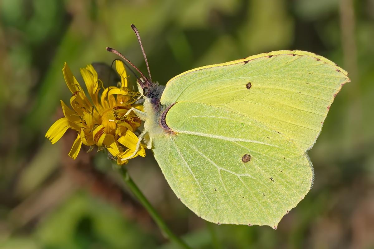 Бабочка-лимонница доклад сообщение (описание для детей)