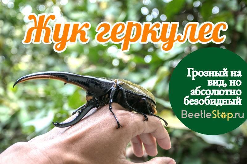 Жук геркулес (описание вида, среда обитания, содержание дома)