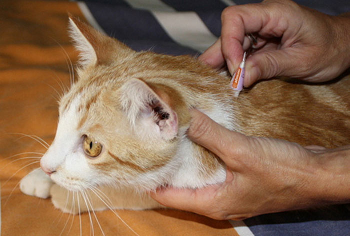 Что делать если кошка слизала капли от блох