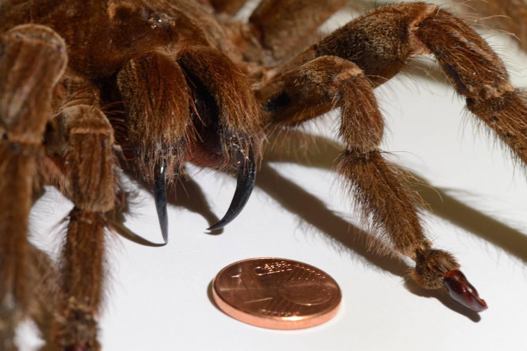 Топ 10 самых больших пауков в мире – фото и видеокадры
